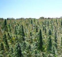 Hemp Seeds Certified Industrial Cultivation