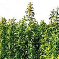 Hemp Seeds Certified Industrial Cultivation