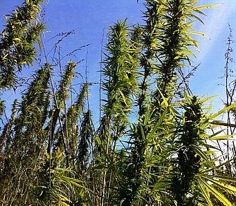 Carmagnola Selected Hemp Seeds : La Spiga e Il Girasole